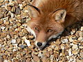 Bored fox.jpg