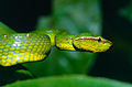 Bornean Keeled Green Pit Viper (Tropidolaemus subannulatus) (14227374031).jpg