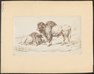 Bos bison - 1700-1880 - Print - Iconographia Zoologica - Special Collections University of Amsterdam - UBA01 IZ21200227.tif