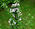 Boskop, Blütenstände,Garten, Brilon, Germany.jpg
