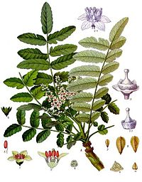 http://upload.wikimedia.org/wikipedia/commons/thumb/d/da/Boswellia_sacra_-_K%C3%B6hler%E2%80%93s_Medizinal-Pflanzen-022.jpg/200px-Boswellia_sacra_-_K%C3%B6hler%E2%80%93s_Medizinal-Pflanzen-022.jpg