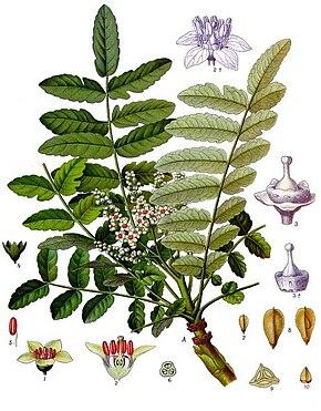 Des vertus des plantes par Macer Floridus, 1832 290px-Boswellia_sacra_-_K%C3%B6hler%E2%80%93s_Medizinal-Pflanzen-022