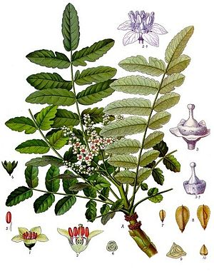 Boswellia sacra, Illustration