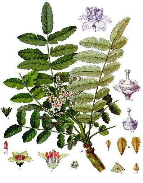 Boswellia sacra - Köhler–s Medizinal-Pflanzen-022