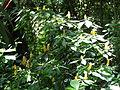 Botanical Garden of Peradeniya 12.JPG