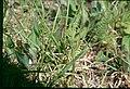 Botrychium matricariifolium 2-eheep (5098036976).jpg