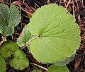 Boykiniarotundifolia1.jpg