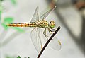 Brachythemis contaminata female 27052014 (2).jpg