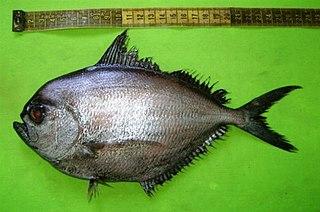 <i>Brama dussumieri</i> Species of fish