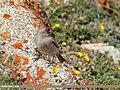 Brandt's Mountain Finch (Leucosticte brandti) (29981042428).jpg