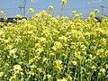 Brassica napus var. napus (3485751500).jpg