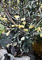 Brassica oleracea convar. capitata var. rubra L. - Red cabbage - flowers.jpg