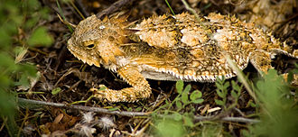 Regal horned lizard - Image: Brdavis Phrynosoma solare