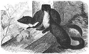 Brehms Het Leven der Dieren Zoogdieren Orde 4 Steenmarter (Mustela foina).jpg