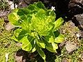 Brighamia insignis - flowers.JPG