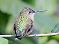 Broad-tailed Hummingbird female RWD.jpg