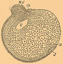 Brockhaus-Efron Experimental Embryology 10.jpg