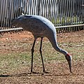 Brolga at Boulia Wildlife Haven Herbert St Boulia Queensland P1030244.jpg