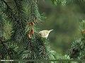 Brooks's Leaf Warbler (Phylloscopus subviridis) (15708291868).jpg