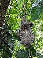 Brown-throated sloth (Bradypus variegatus) (9370119683).jpg