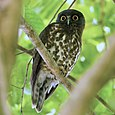 Brown Hawk-Owl - Ninox scutulata.jpg