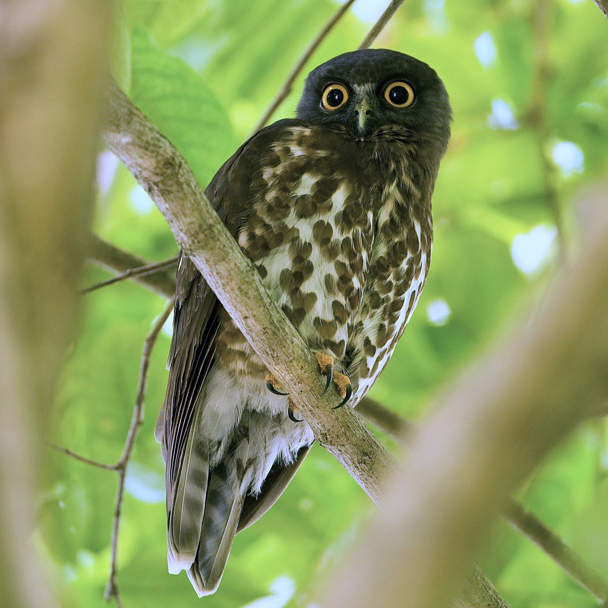 Brown hawk-owl - Wikipedia