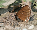 Brown King Crow (Euploea klugii) at Jayanti, Duars, West Bengal W Picture 200.jpg