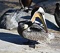 Brown Pelican (40078295524).jpg