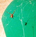 Brown Widow Spider in Orange County, CA.jpg