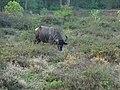 Bubalus arnee Yala National Park 2017-10-26 (1).jpg