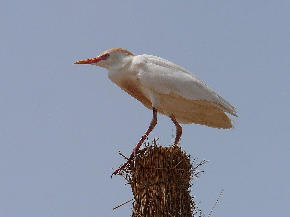 Bubulcus ibis 0011