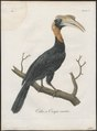 Buceros hydrocorax - 1801 - Print - Iconographia Zoologica - Special Collections University of Amsterdam - UBA01 IZ19300167.tif