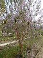 Buddleja officinalis in Jardin des Plantes 01.JPG