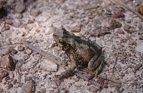 Description de l'image Bufo scitulus02.jpg.