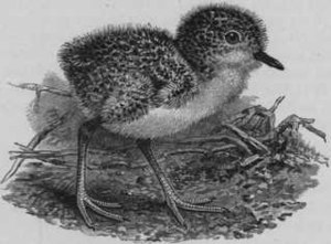 New Zealand plover - Image: Bul 02Bird 015a