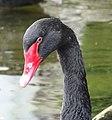 Bulgaria Black Swan 02.jpg
