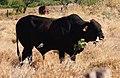 Bull chewing bone 6.jpg