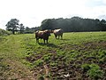 Bull in a field, in Stanton Lacy, Shropshire, England.jpg