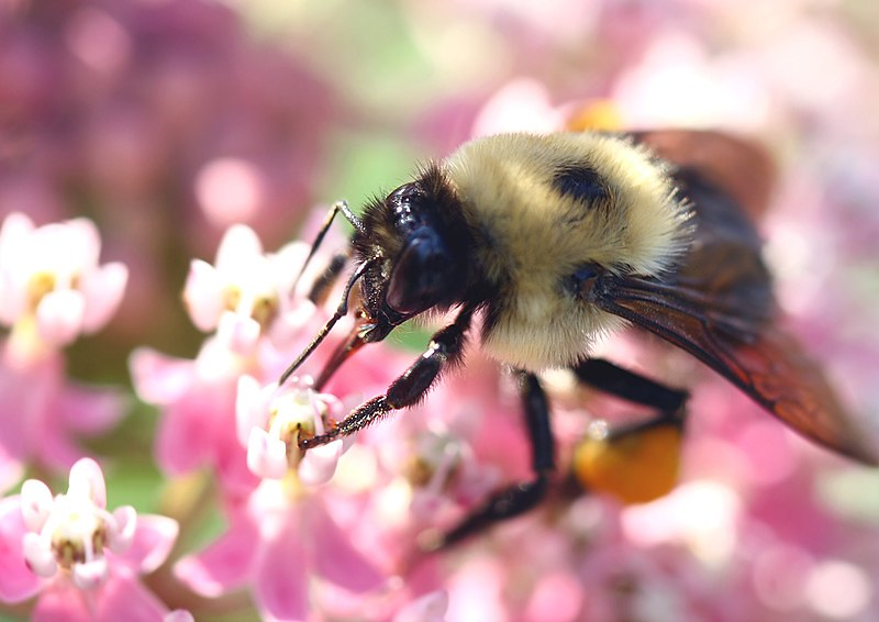 File:Bumble Bee (2631102304).jpg