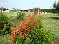 Bunga pucuk merah (33).JPG