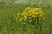 Bunias orientalis - Rakvere raibe.jpg