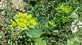 Bupleurum rotundifolium sl10.jpg