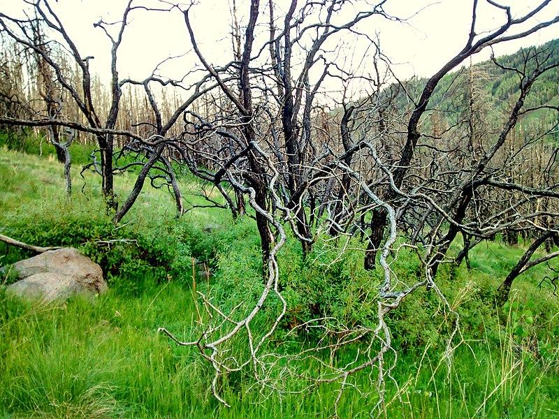 File:Burned trees on the hills of Pajarito Mountain, Los Alamos, NM - panoramio.jpg