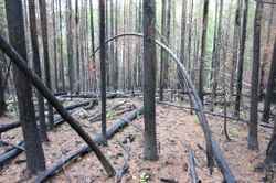 Burnt Forest at Rocky Point Trail of Glacier National Park USA.jpg