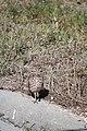 Burrowing owl, Marco Island, Florida - panoramio (2).jpg