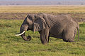 Bush Elephant Amboseli (7234313436).jpg