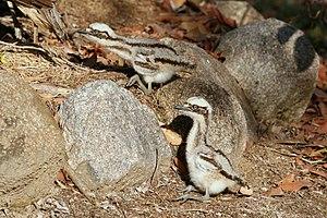 Bush stone-curlew - Image: Bush Stone curlew chicks
