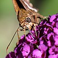 Butterfly on purple flower (close-up) (5999905219).jpg