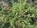 Buxus sinica insularis 1zz.jpg