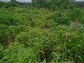 CASSAVA FARM IN PORT HARCOURT CLOSE TO ABONNEMA WALF, RIVERS STATE, NIGERIA.jpg
